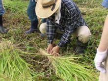稲刈り報告
